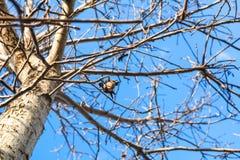 Плодоовощ грецкого ореха на чуть-чуть дереве в осени Стоковая Фотография