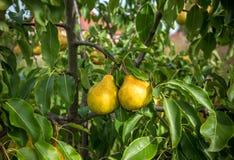 Плодоовощ грушевого дерев дерева Стоковая Фотография
