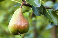 Плодоовощ груши на дереве в конце-вверх сада плодоовощ Стоковое фото RF