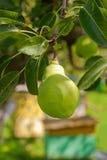 Плодоовощ груши на дереве в саде плодоовощ Стоковая Фотография