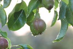 Плодоовощ груши на падении дождя ветви дерева Стоковая Фотография RF