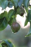 Плодоовощ груши на падении дождя ветви дерева Стоковое Фото