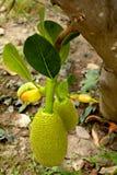 Плодоовощ Джека на дереве Стоковое Изображение RF