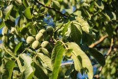 Плодоовощ зеленого цвета грецкого ореха незрелый на ветви дерева Стоковые Изображения RF
