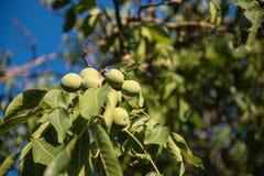 Плодоовощ зеленого цвета грецкого ореха незрелый на ветви дерева Стоковое Изображение