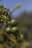 Плодоовощ известки растет Стоковое Фото
