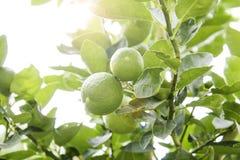 Плодоовощ известки, светло-зеленое дерево Стоковое Изображение RF