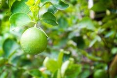 Плодоовощ известки, светло-зеленое дерево Стоковая Фотография