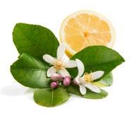 Плодоовощ лимона и цветение лимона Стоковые Изображения RF