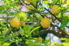 Плодоовощ лимона на ветви дерева лимона Стоковое Изображение RF