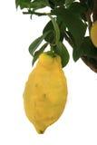 Плодоовощ лимона на дереве Стоковое Фото