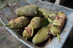 Плодоовощ интежера Cempedak Artocarpus тропический экзотический Стоковая Фотография RF