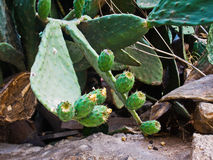 Плодоовощ кактуса на ветви Стоковые Фотографии RF