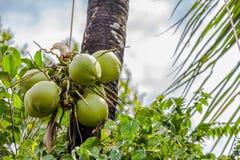 плодоовощ кокоса сбора садовника Стоковые Фото