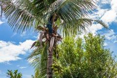 плодоовощ кокоса сбора садовника Стоковое Фото