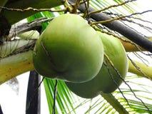 Плодоовощ кокоса Стоковая Фотография RF
