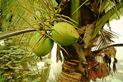 Плодоовощ кокоса Стоковое Изображение RF