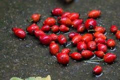 Плодоовощ красного боярышника Стоковые Фотографии RF