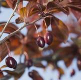 Плодоовощ красной сливы неполовозрелый Стоковые Фото