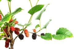 Плодоовощ красной шелковицы на дереве Стоковая Фотография