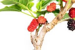 Плодоовощ красной шелковицы на дереве Стоковые Изображения