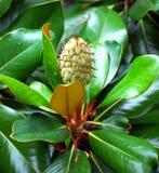 Плодоовощ магнолии Grandiflora Стоковые Изображения