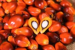 Плодоовощ масличной пальмы Стоковые Изображения RF