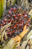 Плодоовощ масличной пальмы Стоковое Изображение RF