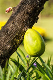 Плодоовощ мексиканского дерева калебаса Стоковое Изображение RF