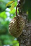 Плодоовощ на дереве, тайский плодоовощ дуриана, Таиланд Стоковая Фотография
