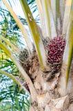 Плодоовощ пальмового масла на дереве Стоковые Фото