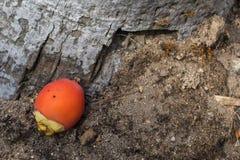 Плодоовощ пальмы Стоковое фото RF