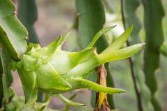 Плодоовощ дракона на дереве после дождя Стоковое Фото