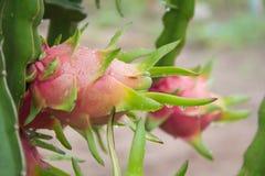 Плодоовощ дракона на дереве после дождя Стоковые Фотографии RF