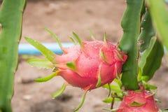 Плодоовощ дракона на дереве после дождя Стоковая Фотография