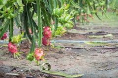 Плодоовощ дракона на дереве после дождя Стоковое фото RF
