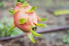 Плодоовощ дракона на дереве после дождя Стоковые Фото