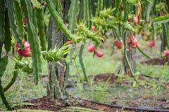 Плодоовощ дракона на дереве после дождя Стоковые Изображения