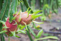 Плодоовощ дракона на дереве после дождя Стоковое Изображение