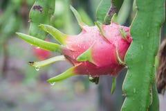 Плодоовощ дракона на дереве после дождя Стоковое Изображение RF