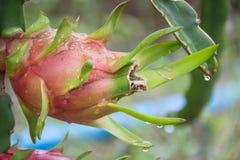 Плодоовощ дракона на дереве после дождя Стоковая Фотография RF