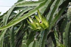 Плодоовощ дракона Стоковое Изображение RF