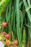 Плодоовощ драконов, плантация плодоовощ Pitahaya Стоковое Изображение