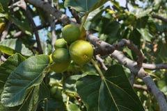 Плодоовощ смоквы Стоковое Изображение RF