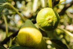 Плодоовощ смоковницы Стоковое Фото