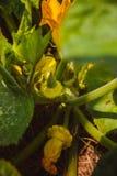 Плодоовощ тыквы на заводе стоковая фотография