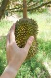 Плодоовощ дуриана руки касающий Стоковая Фотография