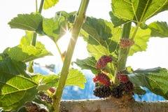 Плодоовощ шелковицы в ветви и лист куста Стоковые Изображения RF