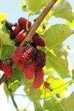 Плодоовощ шелковицы в саде Стоковая Фотография RF