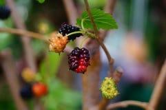 Плодоовощ шелковицы Стоковые Фотографии RF